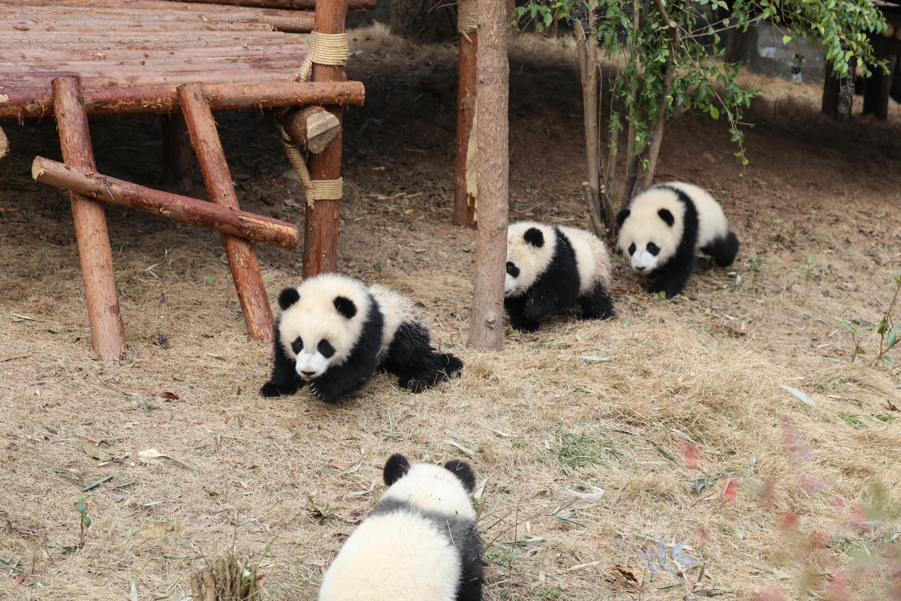 照片pk,卖萌大熊猫 vs
