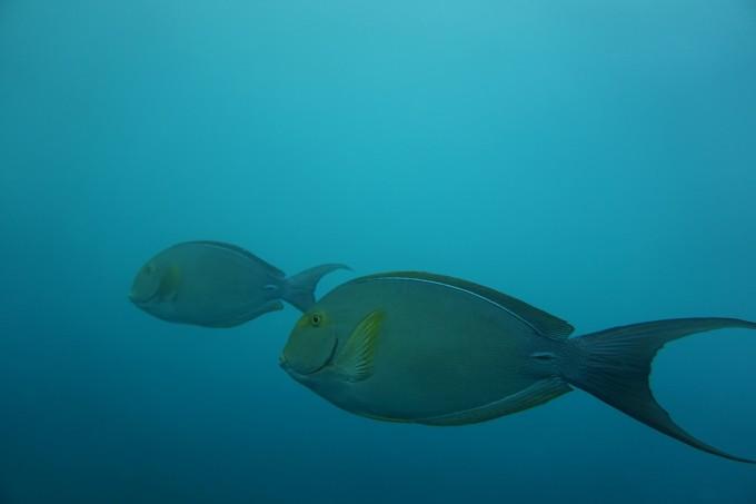 --> 潜水套餐有非潜水员(浮潜)套餐和潜水员(深潜)套餐之分,除了都含吃住外,两种套餐有所不同,当然,预定了潜水员套餐的理所当然享有潜水中心无限次浮潜浮潜。还有关于去诗巴丹的问题,潜水考证问题,我会一一说明。 (一)潜水内容 1、非潜水员套餐:白天潜水中心无限次浮潜,潜水中心开放时间约早上08:00下午18:00。 2、潜水员套餐:每天三次出海潜水,不含到达日及离开日(离开日如不搭乘飞机可安排1次潜水,严格执行潜水后24小时内不可搭乘飞机的规定);潜水地点为马布岛、卡帕莱岛及周边海岛,有名额的前提下可