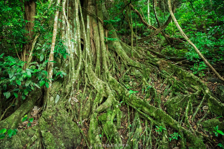 中国科学院西双版纳热带植物园地处西双版纳傣族自治州勐腊县勐仑镇,其他地方建植物园都是从种树开始,这不一样这里的每个树都是从种子成长的。据称这里是东南亚最大的植物园,其归属于中科院。又称葫芦岛,岛上保留了大片原始森林,植物园园区面积约1100公顷,保存着大片的热带雨林,又引进世界各地的13000多种热带植物。分布在棕榈园,榕树园,苏铁园,百果园,百花园等38个专业园区。 版纳植物园的900公顷的园地上,保存着大片的热带雨林,有引自国内外近万种热带植物,分布在棕榈园、榕树园、龙血树园、苏铁园、民族文化植物区